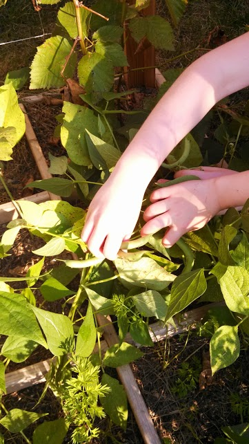 picking green beans in the garden